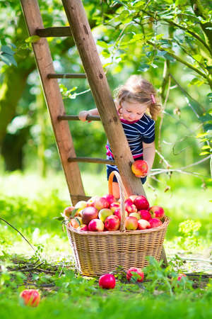 climbing ladder: Adorable little toddler girl with curly hair wearing a blue dress climbing a ladder picking fresh apples in a beautiful fruit garden on a sunny autumn day