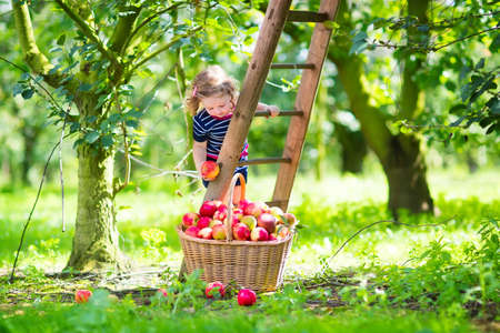 Adorable little toddler girl with curly hair wearing a blue dress climbing a ladder picking fresh apples in a beautiful fruit garden on a sunny autumn day