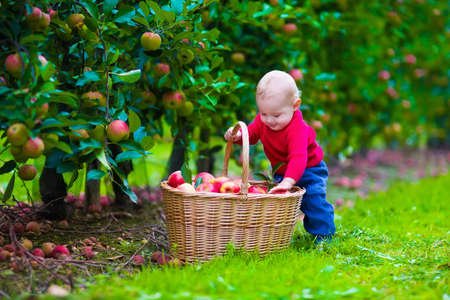 Child picking apples on a farm. Little boy playing in apple tree orchard. Kids pick fruit in a basket. Baby eating healthy fruits at fall harvest. Outdoor fun for children.  Kid with a basket. photo