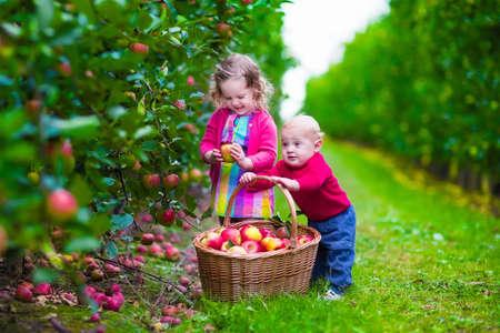frutas divertidas: Niño recogiendo manzanas en una granja en otoño. Niña y muchacho juegan en el huerto manzano. Los niños recogen la fruta en una cesta. Niño y el bebé come frutas en la cosecha de otoño. Diversión al aire libre para los niños.