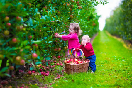 harvest: Child picking apples on a farm in autumn. Little girl and boy play in apple tree orchard. Kids pick fruit in a basket. Toddler and baby eat fruits at fall harvest. Outdoor fun for children.