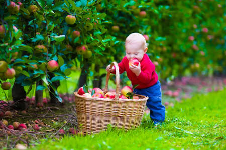 Child picking apples on a farm. Little boy playing in apple tree orchard. Kids pick fruit in a basket. Baby eating healthy fruits at fall harvest. Outdoor fun for children.  Kid with a basket.
