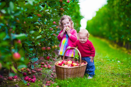 arbol de manzanas: Niño recogiendo manzanas en una granja en otoño. Niña y muchacho juegan en el huerto manzano. Los niños recogen la fruta en una cesta. Niño y el bebé come frutas en la cosecha de otoño. Diversión al aire libre para los niños.