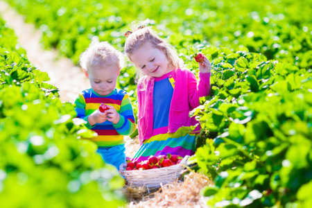 Children pick strawberries. Kids picking fruit on organic strawberry farm. Children gardening and harvesting. Toddler kid and baby eat ripe healthy berry. Outdoor family summer fun in the country. photo