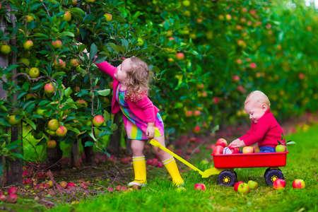 子ファームのりんごを選ぶします。少女と少年は、リンゴの木の果樹園で遊ぶ。子供たちは、ホイール手押し車で秋の果物を選択します。幼児と赤