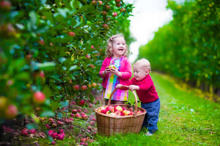 Child picking apples on a farm in autumn. Little girl and boy play in apple tree orchard. Kids pick fruit in a basket. Toddler and baby eat fruits at fall harvest. Outdoor fun for children.