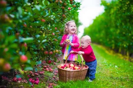 paisaje rural: Niño recogiendo manzanas en una granja en otoño. Niña y muchacho juegan en el huerto manzano. Los niños recogen la fruta en una cesta. Niño y el bebé come frutas en la cosecha de otoño. Diversión al aire libre para los niños.