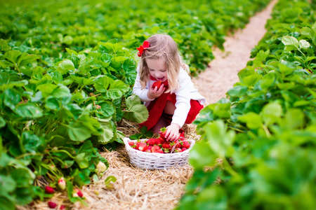 canastas con frutas: Niño recogiendo fresas. Niños recogen fruta fresca en la granja de fresa orgánica. Niños jardinería y recolección. Niño del niño que come la baya sana madura. Familia de la diversión del verano al aire libre en el país. Foto de archivo