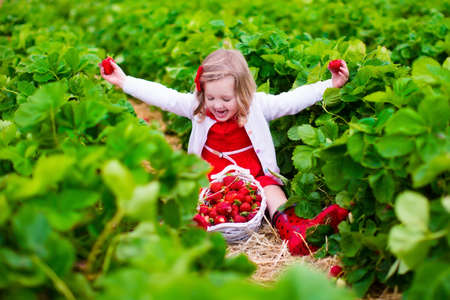 frutas divertidas: Niño recogiendo fresas. Niños recogen fruta fresca en la granja de fresa orgánica. Niños jardinería y recolección. Niño del niño que come la baya sana madura. Familia de la diversión del verano al aire libre en el país. Foto de archivo