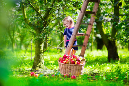 family gardening: Child picking apples on a farm climbing a ladder. Little girl playing in apple tree orchard. Kids pick organic fruit in a basket. Kid eating healthy fruits at fall harvest. Outdoor fun for children. Stock Photo