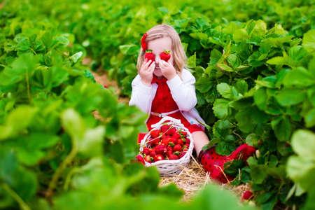 fun: Child picking strawberries. Kids pick fresh fruit on organic strawberry farm. Children gardening and harvesting. Toddler kid eating ripe healthy berry. Outdoor family summer fun in the country.