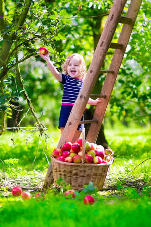 Child picking apples on a farm climbing a ladder. Little girl playing in apple tree orchard. Kids pick organic fruit in a basket. Kid eating healthy fruits at fall harvest. Outdoor fun for children. Banque d'images