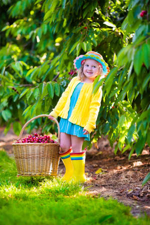 summer fruit: Kids picking cherry on a fruit farm. Children pick cherries in summer orchard. Toddler kid eating fresh fruit from garden tree. Little farmer girl with berry in a basket. Harvest time fun for family Stock Photo