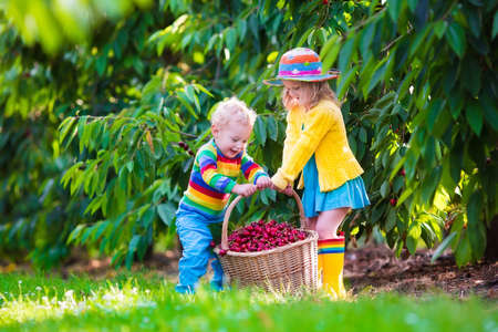 eating in: Kids picking cherry on a fruit farm. Children pick cherries in summer orchard. Toddler kid and baby eat fresh fruit from garden tree. Girl and boy eating berry in a basket. Harvest time fun for family