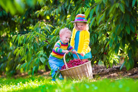 albero da frutto: Kids picking cherry on a fruit farm. Children pick cherries in summer orchard. Toddler kid and baby eat fresh fruit from garden tree. Girl and boy eating berry in a basket. Harvest time fun for family
