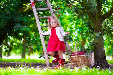 cherry: Kids picking cherry on a fruit farm. Children pick cherries in summer orchard. Toddler kid eating fresh fruit from garden tree. Little farmer girl with berry in a basket. Harvest time fun for family Stock Photo
