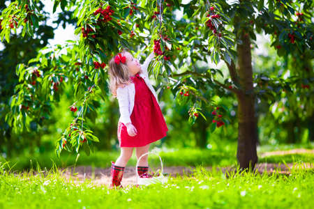 Kids picking cherry on a fruit farm. Children pick cherries in summer orchard. Toddler kid eating fresh fruit from garden tree. Little farmer girl with berry in a basket. Harvest time fun for family Zdjęcie Seryjne