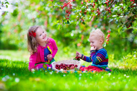 cherry: Kids picking cherry on a fruit farm. Children pick cherries in summer orchard. Toddler kid and baby eat fresh fruit from garden tree. Girl and boy eating berry in a basket. Harvest time fun for family