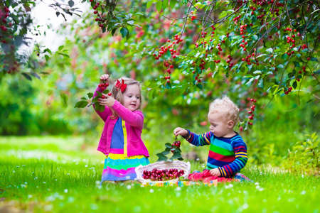 farm boys: Kids picking cherry on a fruit farm. Children pick cherries in summer orchard. Toddler kid and baby eat fresh fruit from garden tree. Girl and boy eating berry in a basket. Harvest time fun for family