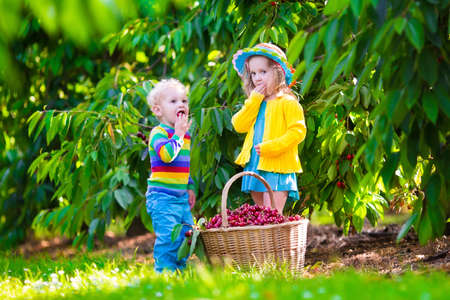 harvest basket: Kids picking cherry on a fruit farm. Children pick cherries in summer orchard. Toddler kid and baby eat fresh fruit from garden tree. Girl and boy eating berry in a basket. Harvest time fun for family