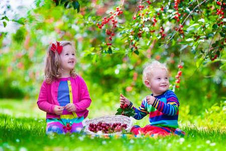 bebes niñas: Niños recogiendo cerezas en una granja de frutas. Los niños recogen cerezas en la huerta de verano. Niño niño y el bebé coma fruta fresca de árbol del jardín. Los niños y niñas de comer bayas en una cesta. Tiempo de cosecha diversión para la familia