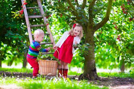 frutas divertidas: Ni�os recogiendo cerezas en una granja de frutas. Los ni�os recogen cerezas en la huerta de verano. Ni�o ni�o y el beb� coma fruta fresca de �rbol del jard�n. Los ni�os y ni�as de comer bayas en una cesta. Tiempo de cosecha diversi�n para la familia