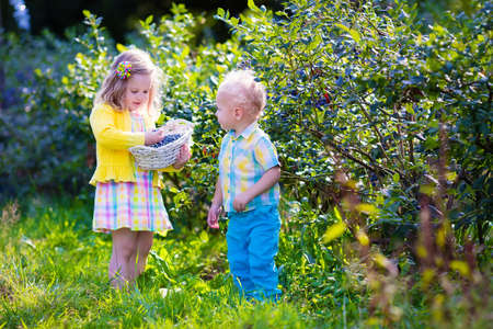 farm girl: Kids picking fresh berries on blueberry field. Children pick blue berry on organic farm. Little girl and baby boy play outdoors in fruit orchard. Toddler and preschooler gardening. Summer family fun.