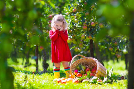 Child picking apples on a farm. Little girl playing in apple tree orchard. Kids pick fruit in a basket. Baby eating healthy fruits at fall harvest. Outdoor fun for children.  Kid with a basket.