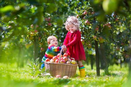 albero da frutto: Bambino raccogliere le mele in una fattoria. Ragazzino e ragazza che giocano in melo frutteto. I bambini raccolgono frutta in un cesto. Bambino che mangia frutta sana alla caduta del raccolto. Divertimento all'aria aperta per i bambini. Bambino con un cesto.