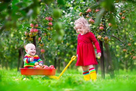 family with baby: Child picking apples on a farm in autumn. Little girl and boy play in apple tree orchard. Kids pick fruit in a basket. Toddler and baby eat fruits at fall harvest. Outdoor fun for children.