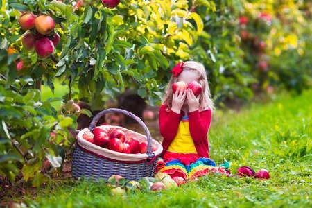 manzana roja: Niño recogiendo manzanas en una granja en otoño. Niña que juega en el huerto manzano. Los niños recogen la fruta en una cesta. Niño que come las frutas en la cosecha de otoño. Diversión al aire libre para los niños. Nutrición saludable. Foto de archivo