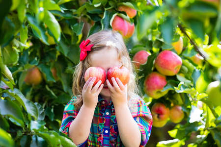 girl apple: Child picking apples on a farm in autumn. Little girl playing in apple tree orchard. Kids pick fruit in a basket. Toddler eating fruits at fall harvest. Outdoor fun for children. Healthy nutrition.
