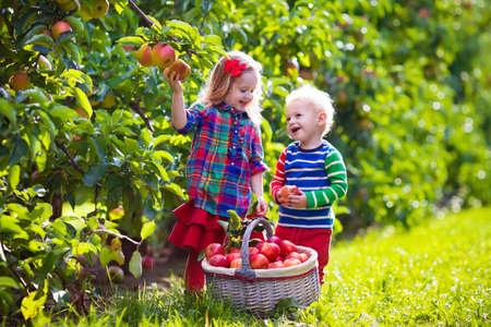 Child picking apples on a farm in autumn. Little girl and boy playing in apple tree orchard. Kids pick fruit in a basket. Toddler eating fruits at harvest. Outdoor fun for children. Healthy nutrition. Banque d'images