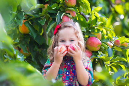 organic farm: Child picking apples on a farm in autumn. Little girl playing in apple tree orchard. Kids pick fruit in a basket. Toddler eating fruits at fall harvest. Outdoor fun for children. Healthy nutrition.