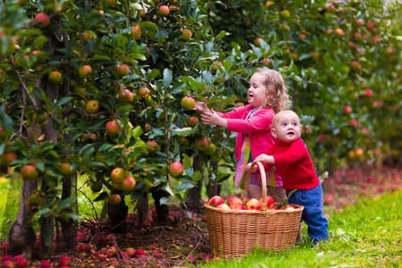 canastas con frutas: Adorable niña y bebé recogiendo manzanas maduras frescas en huerto de frutales. Los niños recogen frutos de manzano en una cesta. Diversión de la familia durante la época de la cosecha en una granja. Niños jugando en el jardín de otoño