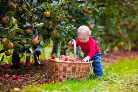 eating in the garden: Adorable baby boy picking fresh ripe apples in fruit orchard. Children pick fruits from apple tree. Family fun during harvest time on a farm. Kids playing in autumn garden. Child eating healthy fruit.