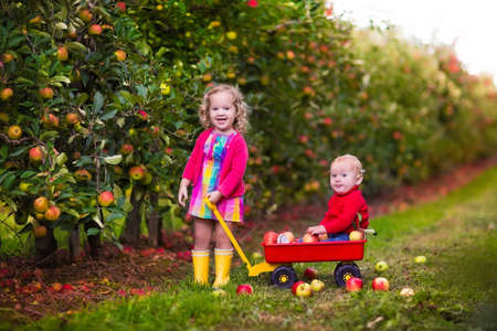Adorable little girl and baby boy picking fresh ripe apples in fruit orchard. Children pick fruits from apple tree in a basket. Family fun during harvest time on a farm. Kids playing in autumn garden