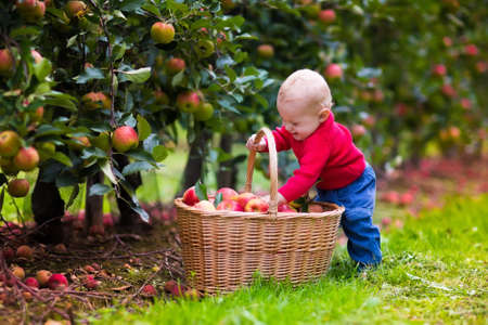 garden: Adorable baby boy picking fresh ripe apples in fruit orchard. Children pick fruits from apple tree. Family fun during harvest time on a farm. Kids playing in autumn garden. Child eating healthy fruit.