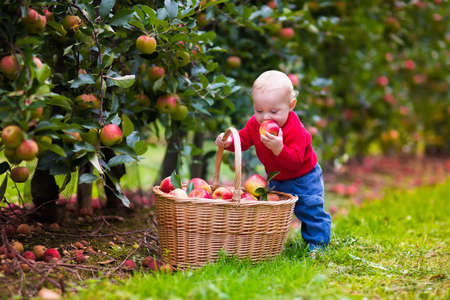 farms: Adorable baby boy picking fresh ripe apples in fruit orchard. Children pick fruits from apple tree. Family fun during harvest time on a farm. Kids playing in autumn garden. Child eating healthy fruit.