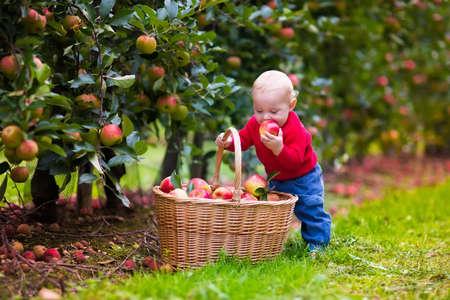GRANJA: Bebé adorable recogiendo manzanas maduras frescas en huerto de frutales. Los niños recogen frutos de manzano. Diversión de la familia durante la época de la cosecha en una granja. Niños jugando en el jardín de otoño. Niño que come la fruta sana. Foto de archivo