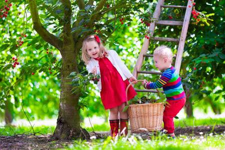 frutas divertidas: Niños recogiendo cerezas en una granja de frutas. Los niños recogen cerezas en la huerta de verano. Niño niño y el bebé coma fruta fresca de árbol del jardín. Los niños y niñas de comer bayas en una cesta. Tiempo de cosecha diversión para la familia