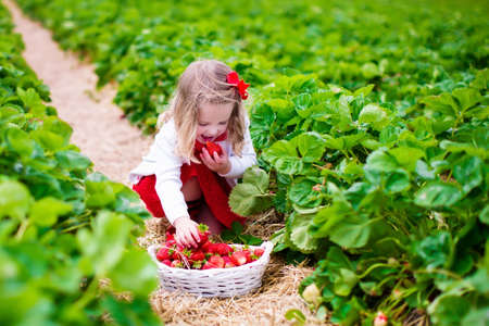 harvest field: Child picking strawberries. Kids pick fresh fruit on organic strawberry farm. Children gardening and harvesting. Toddler kid eating ripe healthy berry. Outdoor family summer fun in the country.