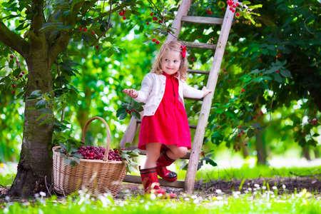 albero da frutto: Bambini raccolta ciliegia su una fattoria di frutta. I bambini raccolgono ciliegie in frutteto estate. Bambino bambino che mangia la frutta fresca da albero giardino. Piccolo coltivatore ragazza con bacche in un cestino. Divertimento Tempo di raccolta per la famiglia