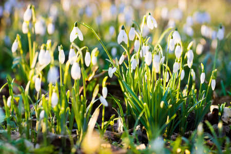 snow forest: Snowdrop flowers in a park on a sunny spring day. Snow drop flower meadow in March.