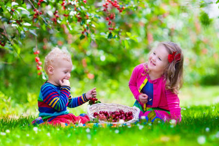 family garden: Kids picking cherry on a fruit farm. Children pick cherries in summer orchard. Toddler kid and baby eat fresh fruit from garden tree. Girl and boy eating berry in a basket. Harvest time fun for family