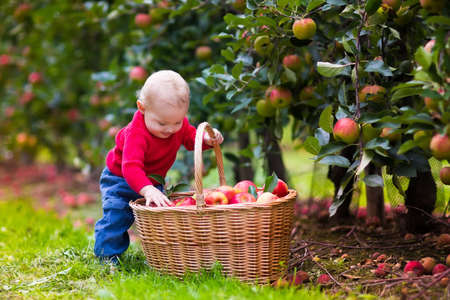 eating fruits: Adorable baby boy picking fresh ripe apples in fruit orchard. Children pick fruits from apple tree. Family fun during harvest time on a farm. Kids playing in autumn garden. Child eating healthy fruit.