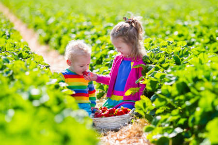 Los niños recogen fresas. Niños recogiendo fruta en la granja de fresa orgánica. Niños jardinería y recolección. Niño niño y el bebé coma baya sana madura. Familia de la diversión del verano al aire libre en el país. Foto de archivo