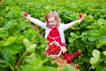 organic farm: Child picking strawberries. Kids pick fresh fruit on organic strawberry farm. Children gardening and harvesting. Toddler kid eating ripe healthy berry. Outdoor family summer fun in the country.
