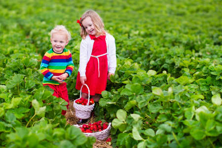eating food: Children pick strawberries. Kids picking fruit on organic strawberry farm. Children gardening and harvesting. Toddler kid and baby eat ripe healthy berry. Outdoor family summer fun in the country.