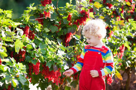 Little boy picking fresh ripe berry from red currant bush in sunny summer garden. Healthy nutrition for kids. Bio fruit for children.